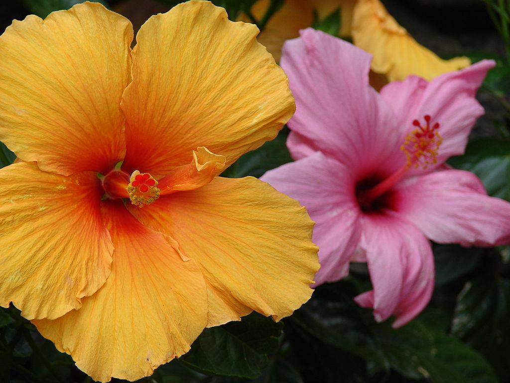 Chinese hibiscus flower song chinese hibiscus hibiscus rosa sinensis izmirmasajfo