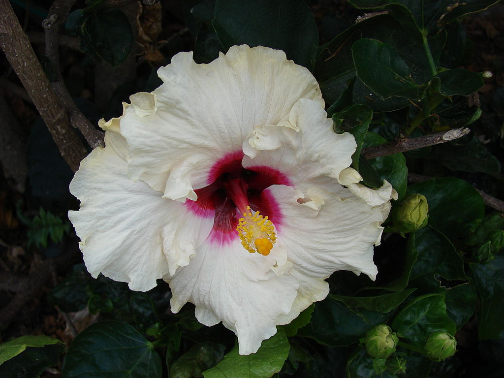 Chinese hibiscus flower song significance given by the mother izmirmasajfo
