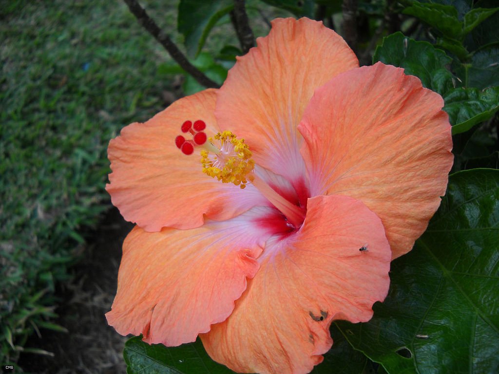 Chinese Hibiscus Flower Song