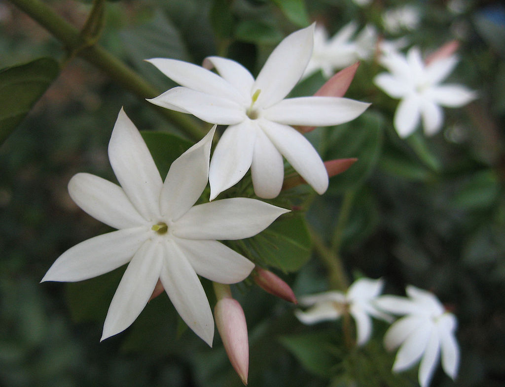 Jasmine flower song significance given by the mother izmirmasajfo