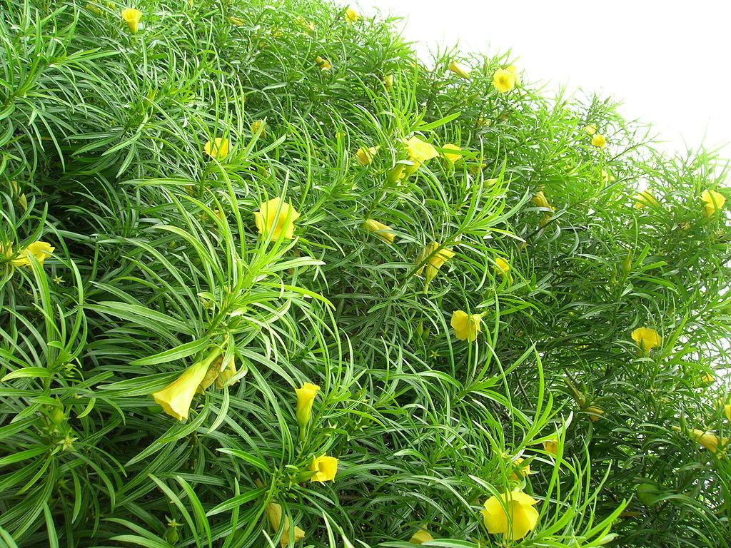 Yellow Oleander Flower Song